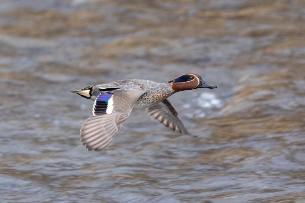 飛んでいるコガモ_2の写真