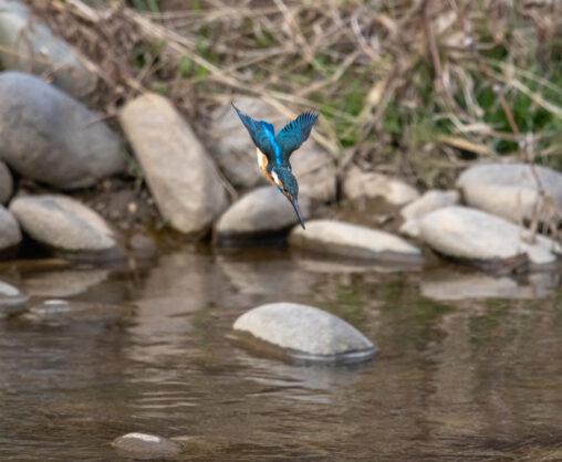 カワセミの飛び込みの写真