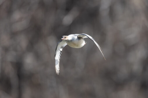 飛翔するカワアイサのメスの写真