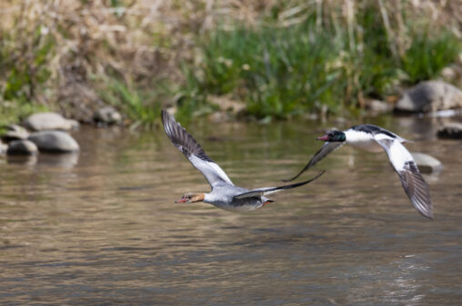 飛翔するカワアイサのメスとオスの写真