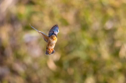 カワセミのホバリング_2の写真