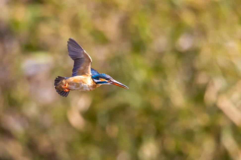 新緑とカワセミの飛翔の写真