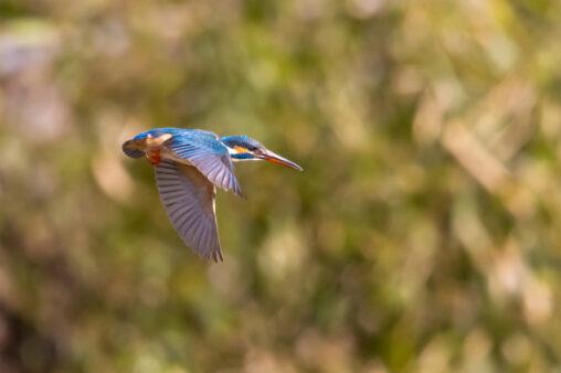 新緑とカワセミの飛翔_2の写真