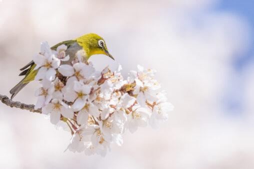 桜とメジロ_2の写真