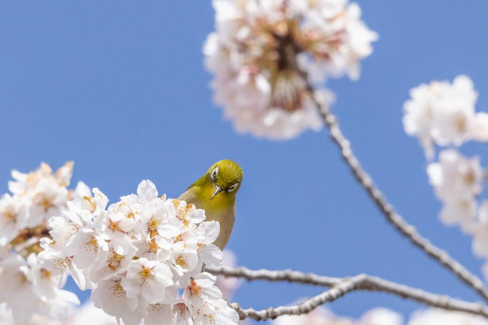 桜とメジロ_3の写真