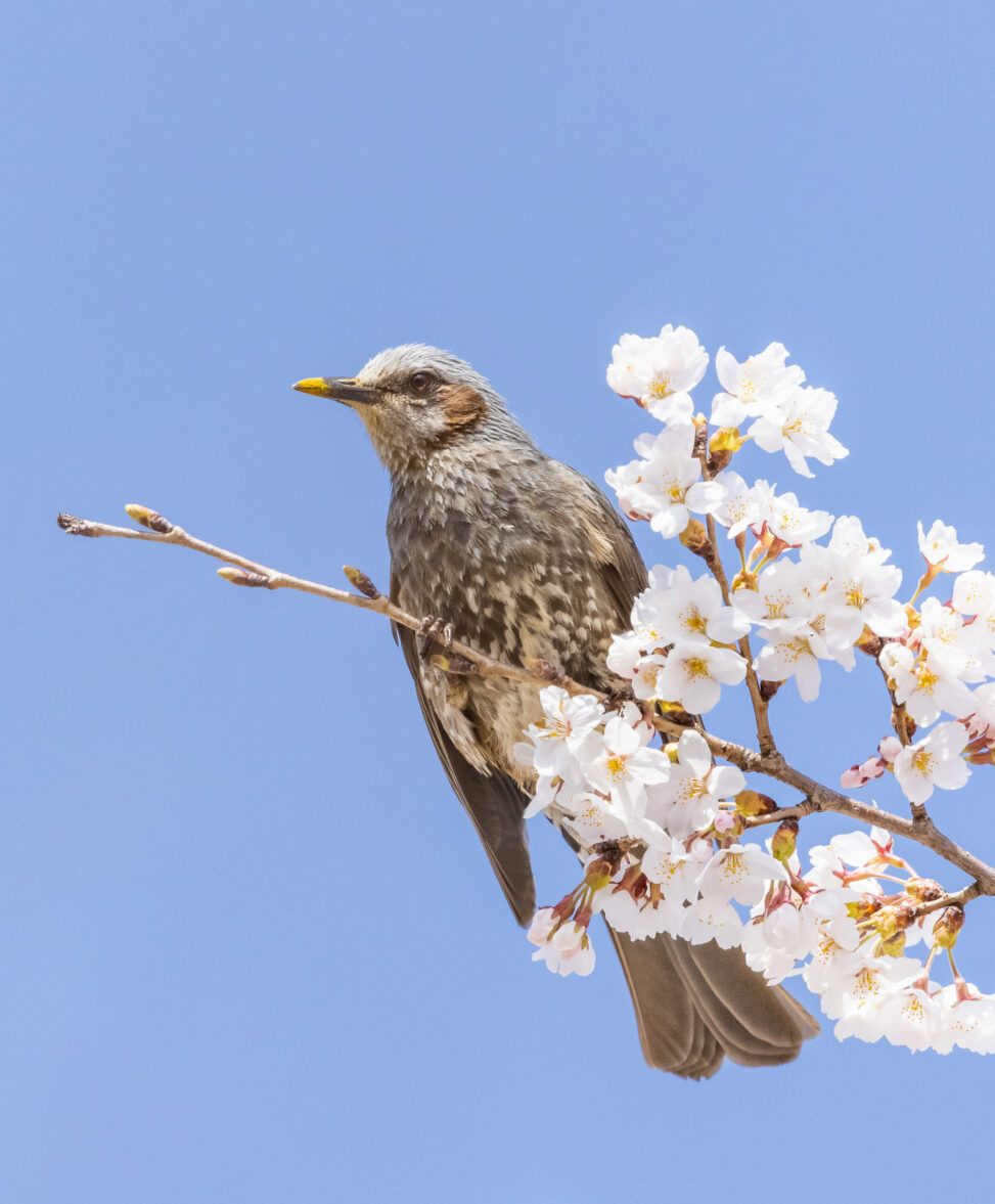 桜とヒヨドリの写真