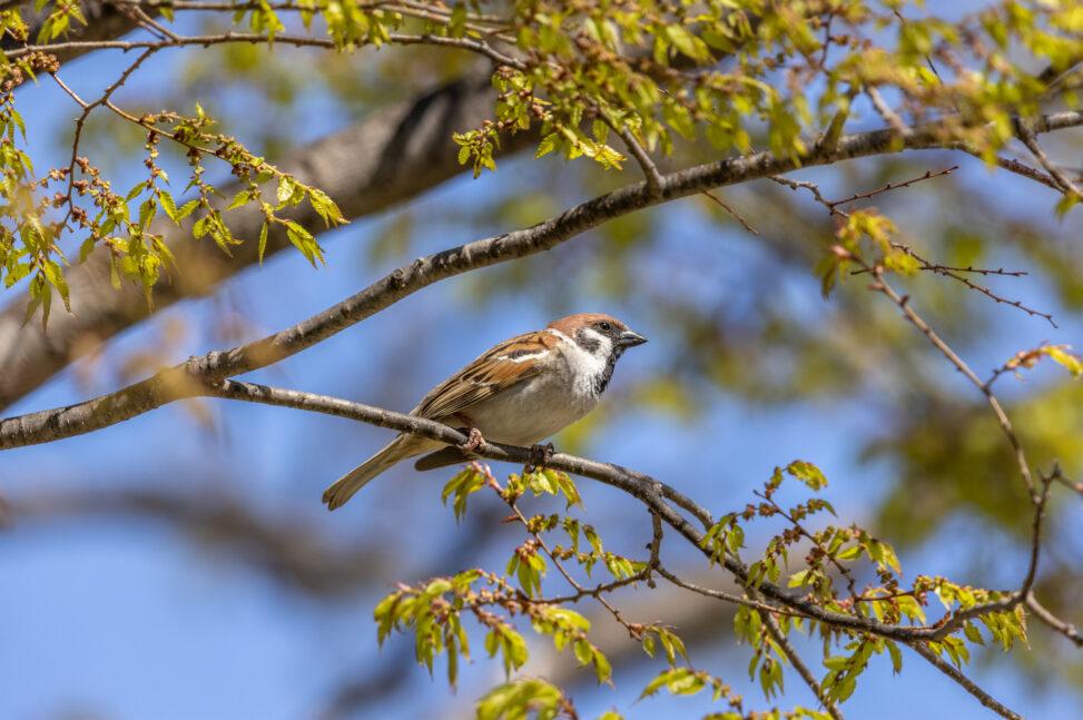 木の枝にとまるスズメ(雀)_2の写真