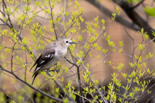 コムクドリのメスと芽吹き始めの新緑の写真