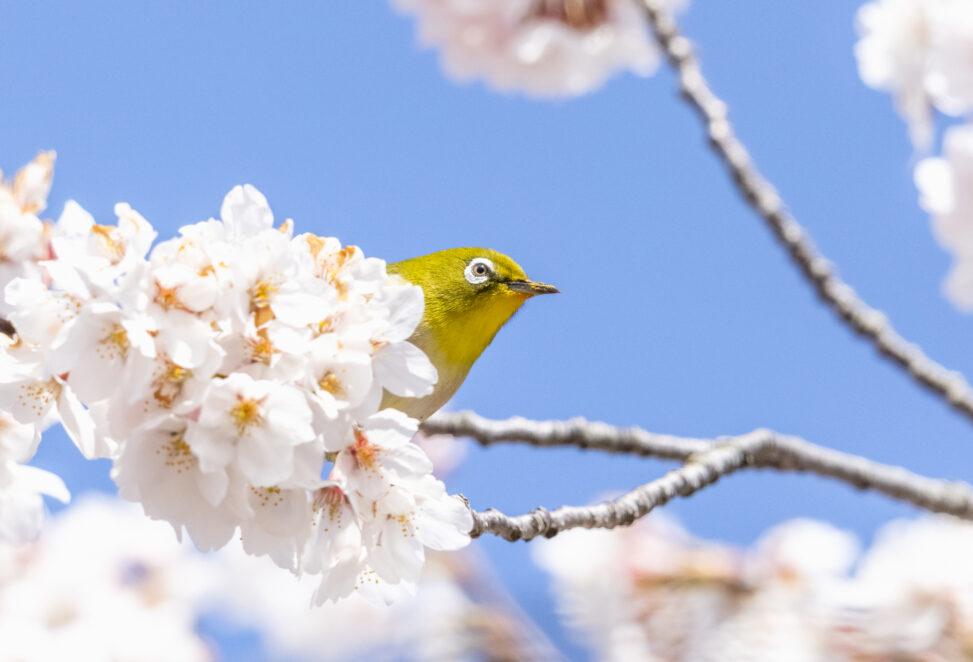 桜とメジロ_4の写真