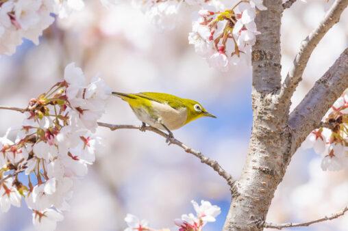 桜とメジロ_5の写真