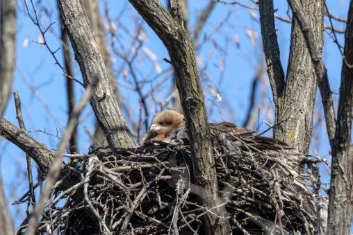 巣にいるトンビ/トビ/鳶の写真