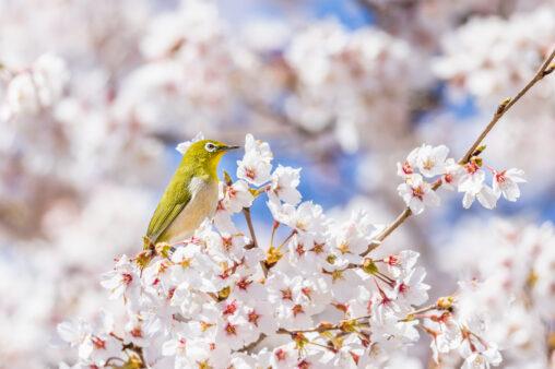 満開の桜とメジロの写真