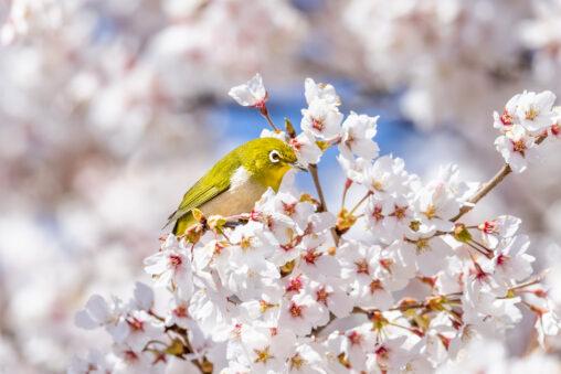 満開の桜とメジロ_2の写真