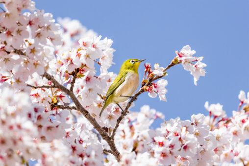 青空と満開の桜とメジロ