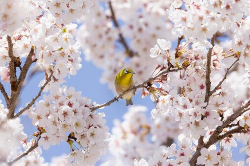 青空と満開の桜とメジロ _2の写真