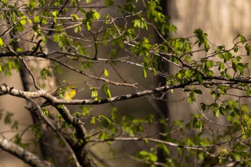 新緑とノジコ_2の写真