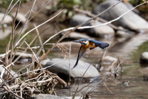 川辺にいるカワセミの飛翔の写真