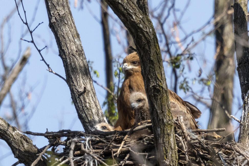 巣にいるトンビ/トビ/鳶の親子の写真