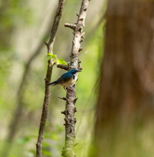 枝にとまっているコルリの写真