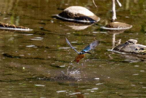 カワセミの離水の写真