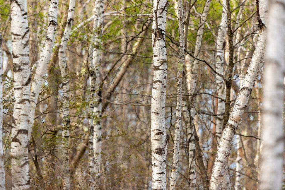 白樺(シラカンバ)林の写真
