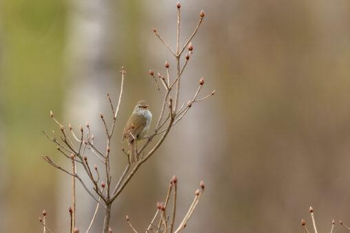 鳴いているウグイス(鶯)の写真