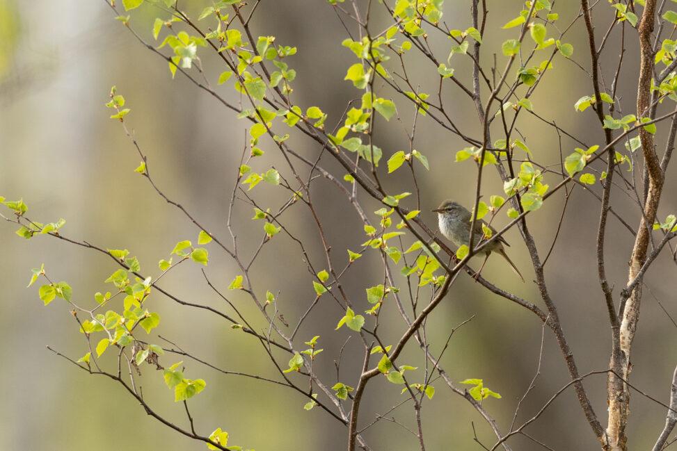 新緑の葉とウグイス(鶯) の写真
