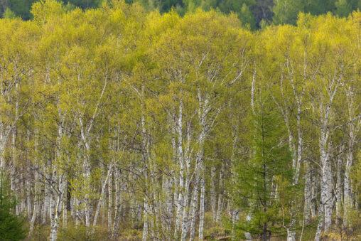 新緑の白樺(シラカンバ)林の写真