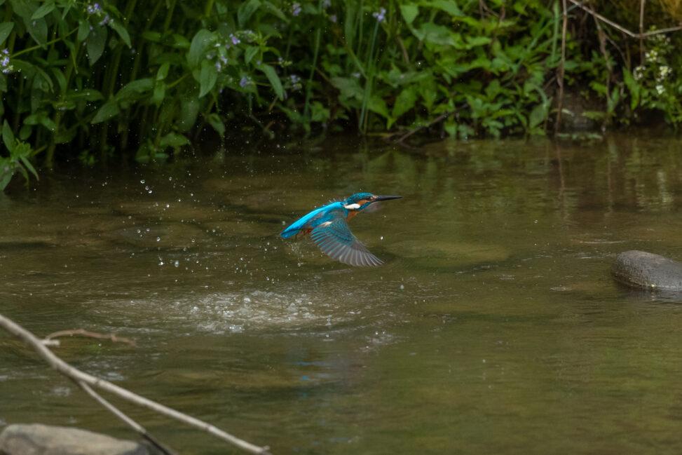 カワセミの離水_2の写真