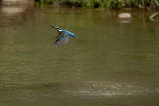 カワセミの離水_3の写真
