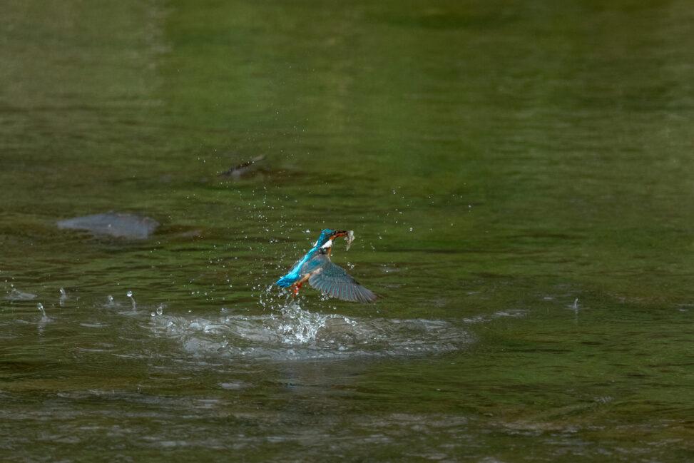 カワセミの捕食の写真
