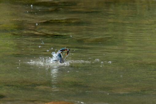 魚を捕って水面からでてくるカワセミの写真