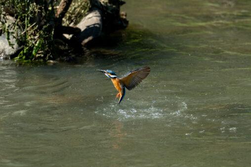カワセミの離水_4の写真