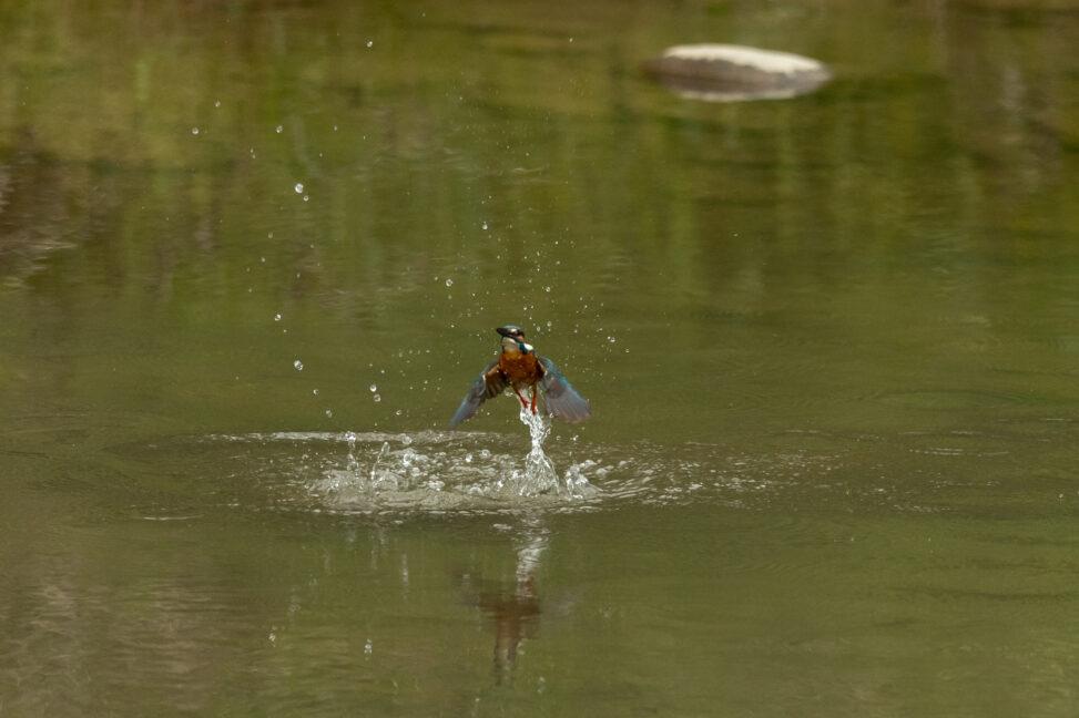 カワセミの離水_5の写真