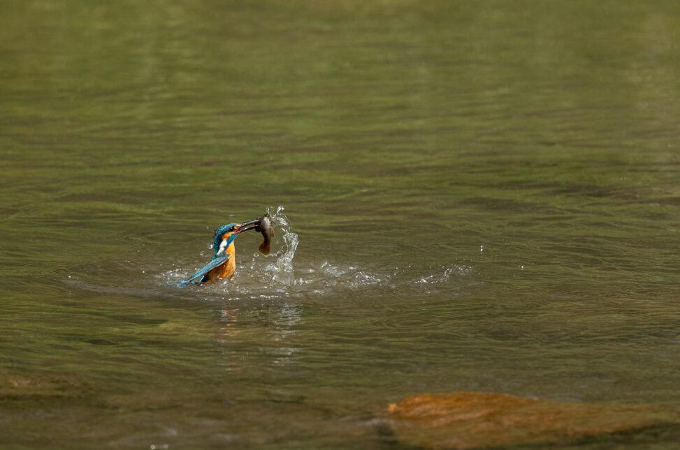 魚を捕って水面からでてくるカワセミ_2の写真