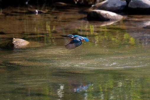 カワセミの飛翔の写真