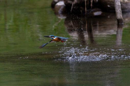 カワセミ/離水の写真