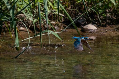 川辺のカワセミ/離水の写真