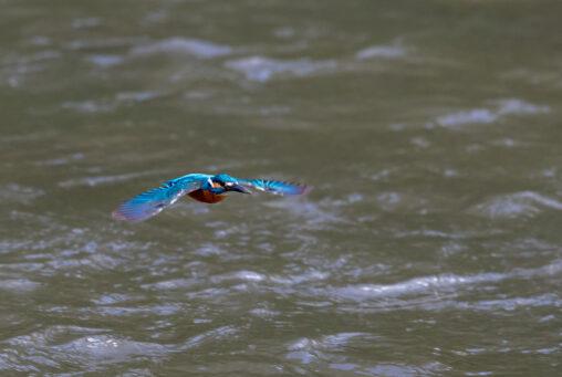 カワセミの飛翔_2の写真
