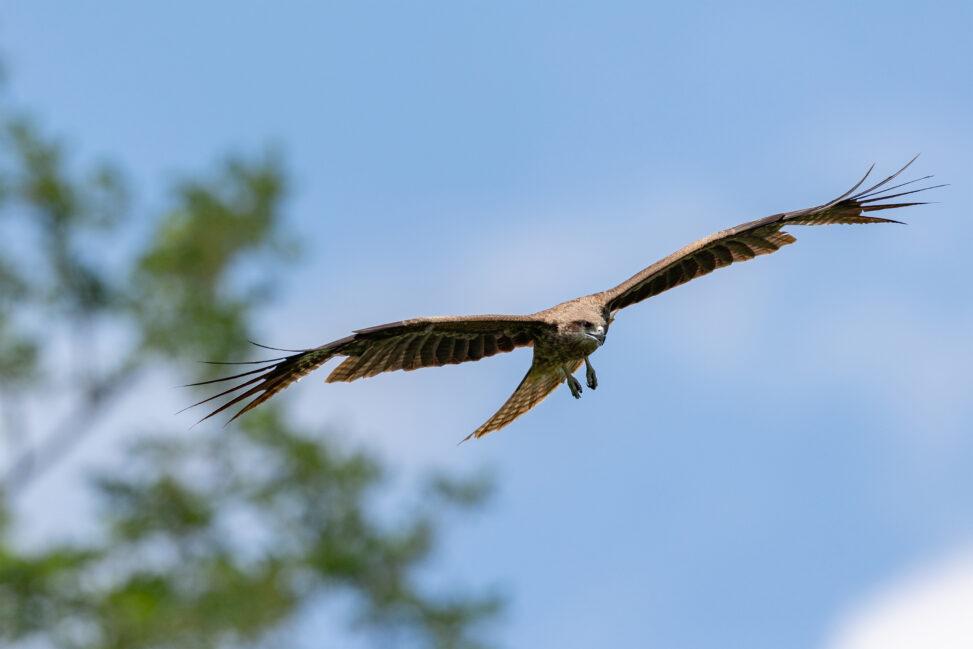 青空を飛翔するトンビ/トビ/鳶の写真