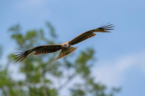 青空を飛翔するトンビ/トビ/鳶_2の写真