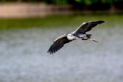 湖面を飛ぶアオサギ_2の写真