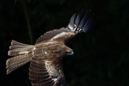 トンビ/トビ/鳶の飛翔の写真