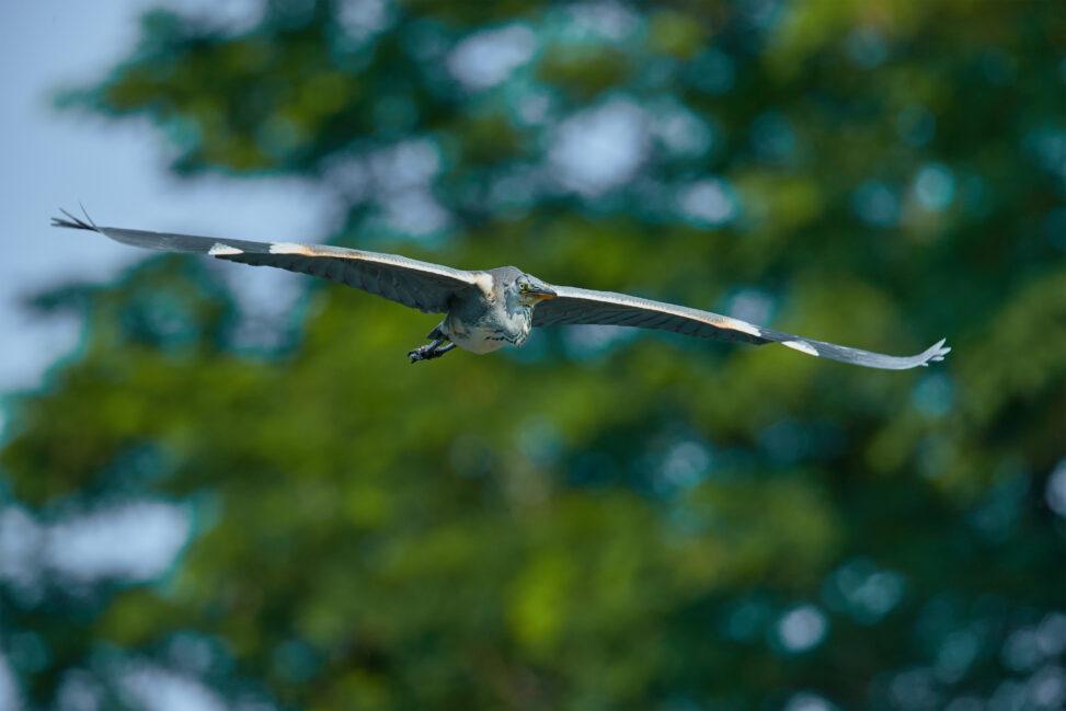 アオサギ/飛翔_6の写真