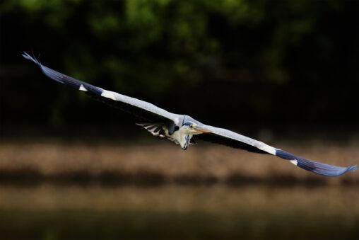 アオサギ/飛翔_8の写真