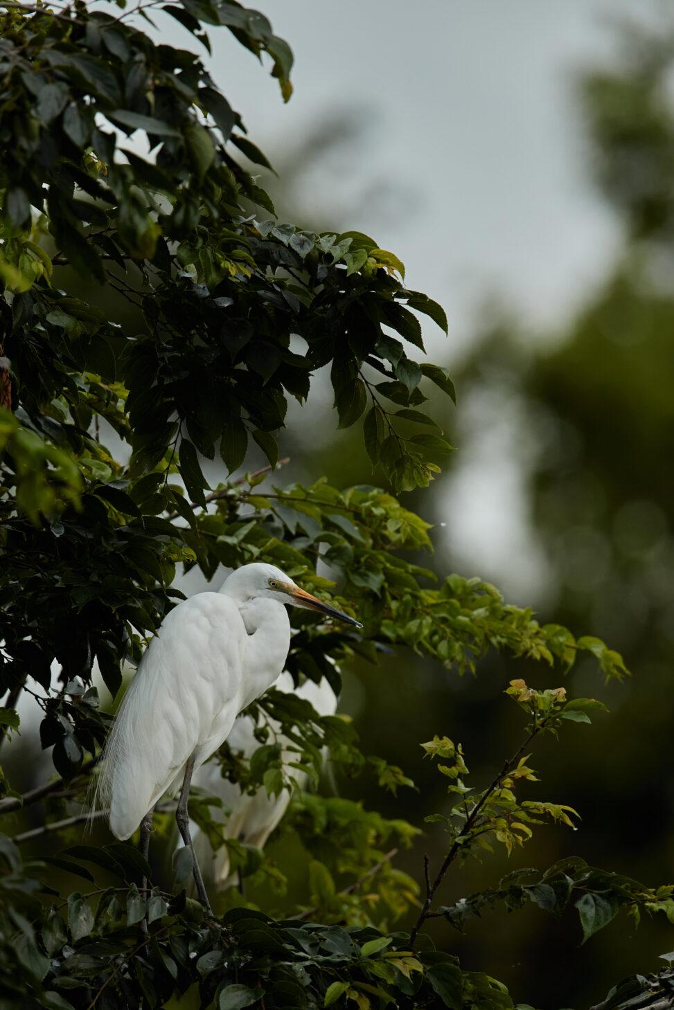 枝にとまっているダイサギ_2の写真