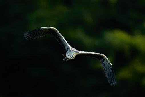 雄大なアオサギの飛翔の写真