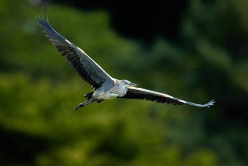 雄大なアオサギの飛翔_2の写真