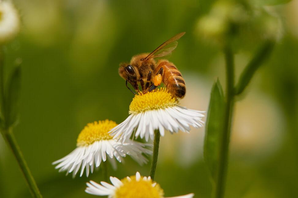 ハルジオンの花と蜂_3の写真