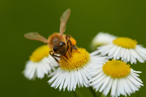 ハルジオンの花と蜂のアップの写真